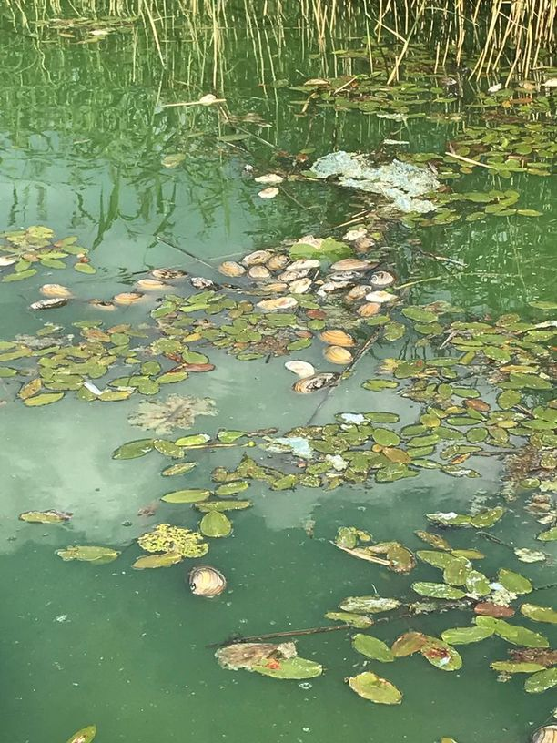 Kuolleet järvisimpukat ovat ajautuneet Enäjärvellä etenkin sen etelä- ja kaakkoisosiin, jossa ne ovat ulpukkakasvustojen keskellä.