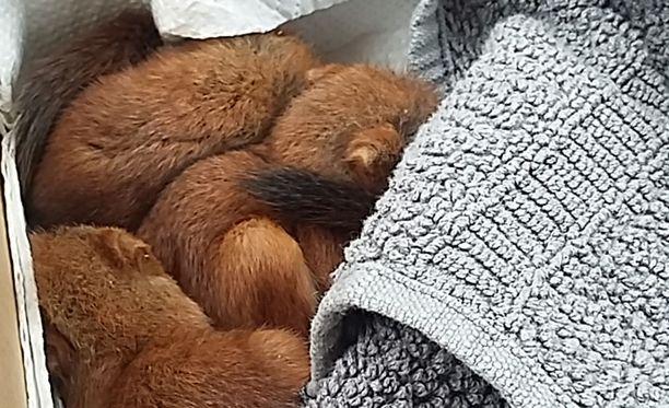 Oravanpoikaset vetelivät sikeitä porvoolaisperheen kenkälaatikossa.