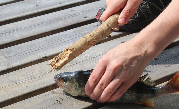 Kalan oikeaoppinen lopettaminen tapahtuu napakalla lyönnillä päähän.