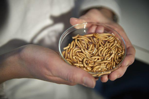 Matinkylä-Olarin Vihreät ry esittää, että vihreiden seuraavassa puoluekokouksessa tulisi olla tarjolla vaihtoehtoisia proteiinilähteitä. Kuvassa jauhopukin toukkia eli jauhomatoja.
