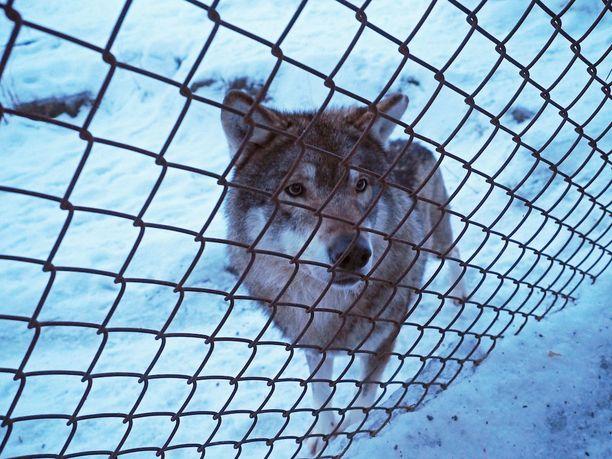 Ainakin kaksi susista ehti tarttua poikaan.