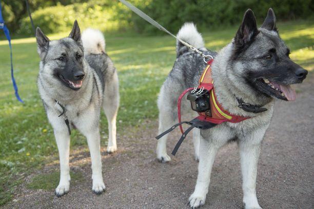 Rita ja Pipa -koirat hoitavat hanhien karkottamisen.