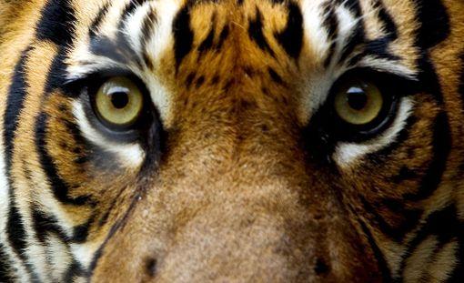 Kuvat on otettu Thaimaassa, tiikereihin erikoistuneessa eläintarhassa jo vuonna 2007 Daily Mailin mukaan.