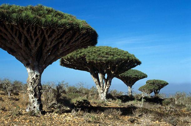 Socotran persoonallisia puita.
