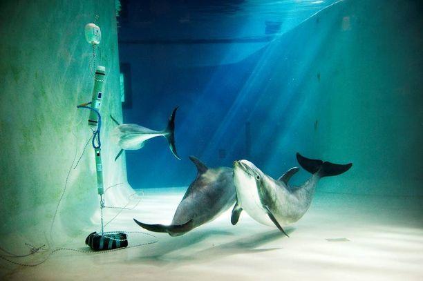 Leevi (oik.), Veera ja Näsi tutkivat uteliaana altaaseen ilmestynyttä vedenalaista kuuntelulaitetta vuonna 2011.