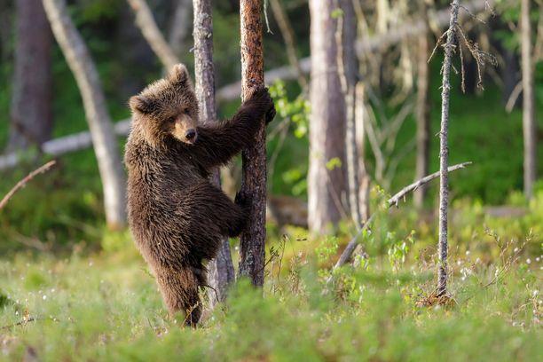 Karhut ovat taitavia kiipeilijöitä.