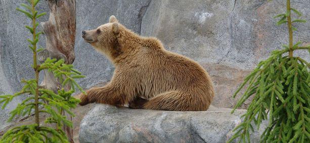 Korkeasaaren karhuilla ei tahdo tulla talviuni silmään.
