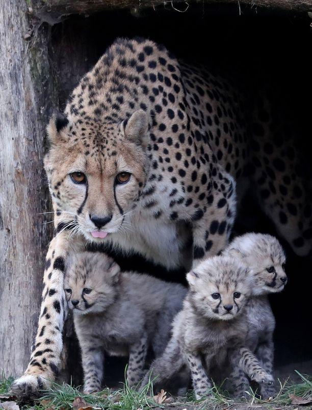 Gepardit ovat sosiaalisia. Otukset saalistavat nopeutensa avulla. Emo opettaa poikasiaan gepardeiksi.
