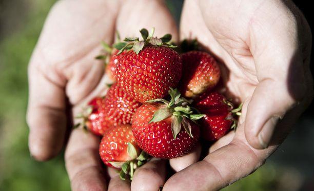 Myös mansikkalajike vaikuttaa kypsymisen ajankohtaan. Polka on perinteisesti lajikkeista viljellyin.