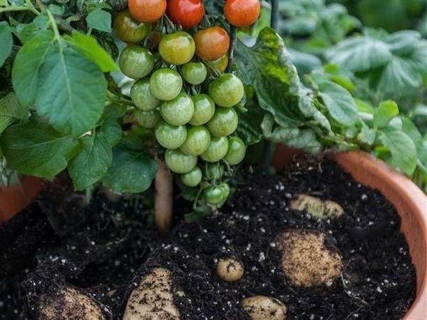 Tomaattia ja perunaa tuottava TomTato tarvitsee suuren ruukun ja anteliasta lannoitusta.