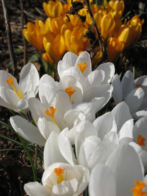 Kun istutat kukkasipulit nyt, kevään väriloisto on taattu. Kuvassa krookuksia.
