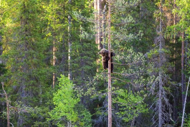 Kesäiset karhukuvat otti saksalainen amatöörivalokuvaaja Daniela Beyer. Kuvat on otettu kajaanilaisessa metsässä. Beyer saapui paikalle varhain kesäaamuna. Aluksi hän todisti karhujen leikkejä, sitten kiipeilyjä.