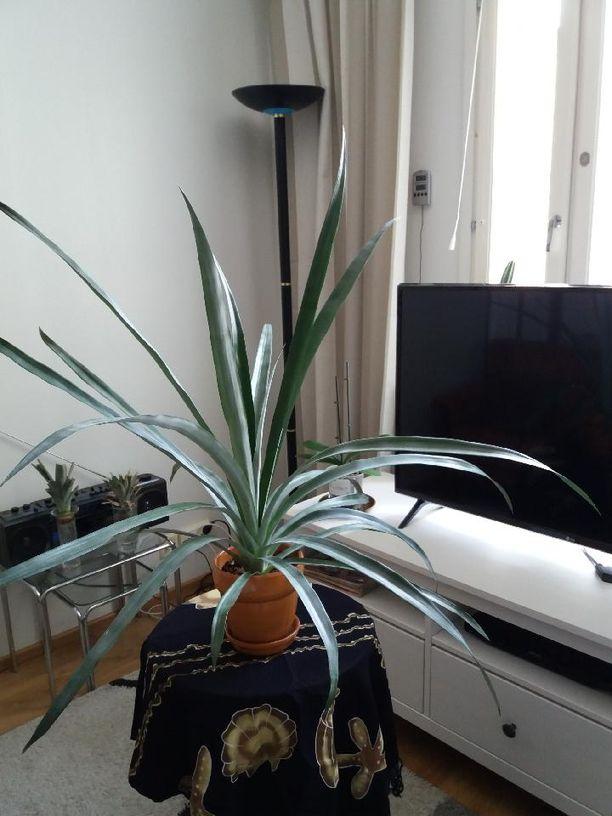 Kuvassa Heljä-Riitan 2-vuotias ananaksen viherosasta kasvatettu viherkasvi, joka odottaa parhaillaan mullan vaihtoa ja isompaa ruukkua.