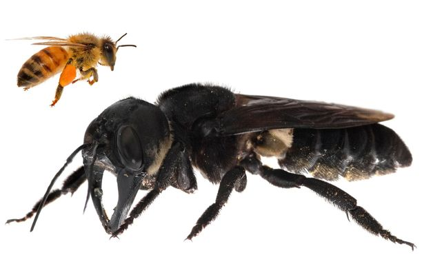 Eurooppalaiseen serkkuunsa verrattuna jättiläismehiläinen on noin neljä kertaa suurempi. Sillä on  valtavat leuat, kuin jollain kovakuoriaisilla.
