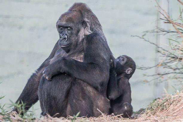 Gorillaperheeseen kuuluu seitsemän jäsentä.