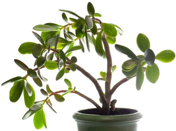 Sentin suurempi ruukku joka kevät auttaa kasvia voimaan hyvin.