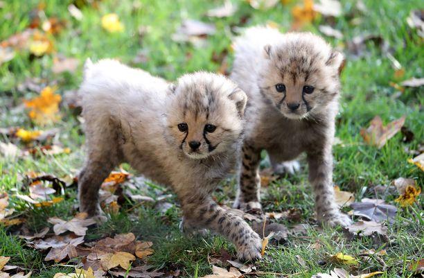 Salametsästyksen, elinympäristön muutosten ja saaliseläinten vähenemisen myötä gepardikanta on hupenemassa.