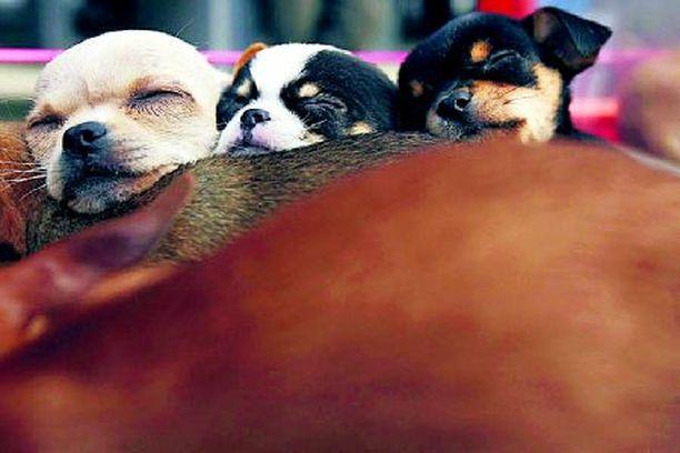 Koiranpennut saavat iloiseksi.
