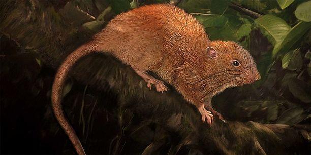 Havaintokuva vika-rotasta, joka elää Salomonsaarilla.