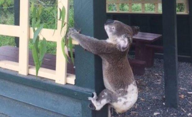 Tiedossa ei ole oliko koala elossa vai kuollut, kun se ruuvattiin piknik-alueen taukokatoksen tolppaan.
