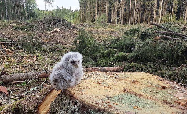 Jukka Tannerin mielestä pöllökuva ei ole lavastettu. Luontojärjestöjen mukaan kuva kiteyttää erinomaisesti metsäluonnon tilanteen.