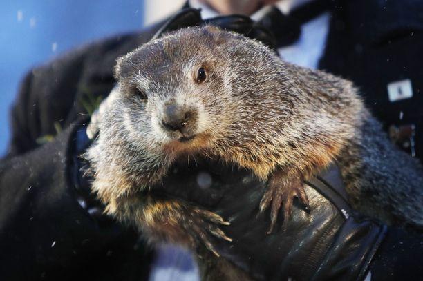 Metsämurmeli Punxsutawney Phil ennustaa aikaista kevättä.