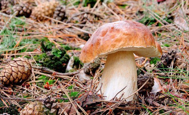 Tatit ovat sienestäjän ystäviä: ne ovat usein satoisia ja helposti tunnistettavia.