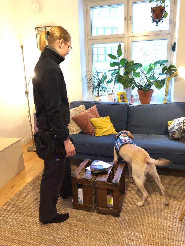 Lutikkakoira labradorinnoutaja Ruu nuuskii huolellisesti yksityisasunnon sohvan seinäluteiden varalta. Ruun aisapari on lutikkakoiran ohjaaja Karita Häkkinen.