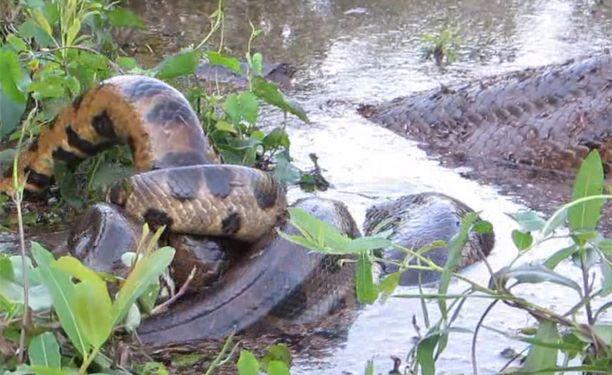Anakondat muodostavat parittelupalloja, joissa on yksi naaras ja jopa kymmenen urosta.