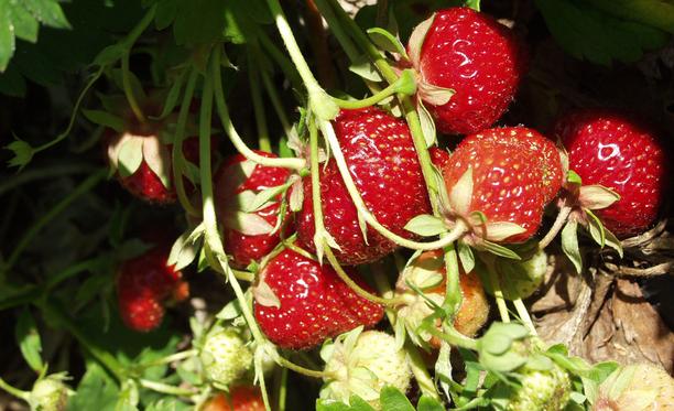 Polka on pitkäsatoinen valtalajike Etelä-Suomessa. Marjat ovat kiiltävän tummanpunaisia, kiinteitä ja maukkaita.