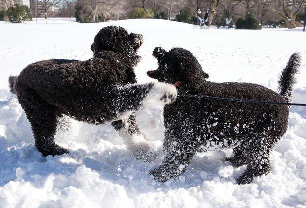 Obaman koirat Bo ja Sunny ovat portugalinvesikoiria.