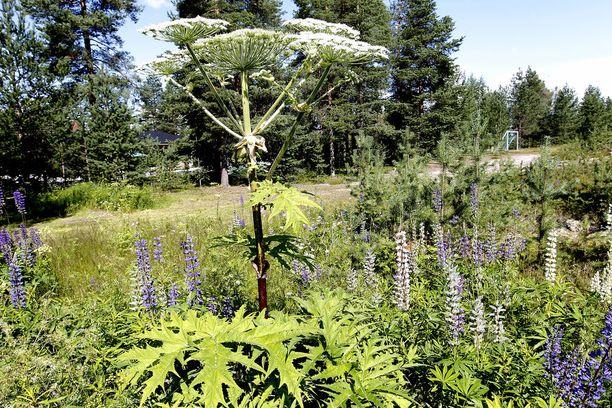 Jättiputki on terveydelle vaarallinen vieraskasvi.