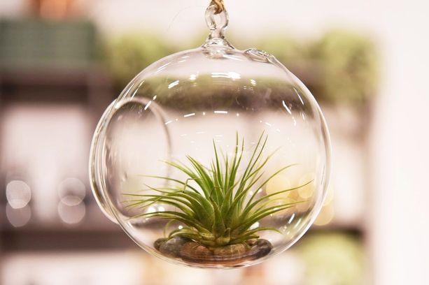 Ilmakasveja voi laittaa vaikka terraarioihin.