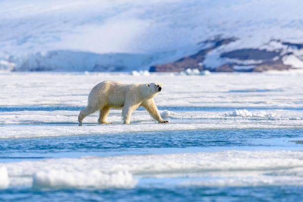 Jääkarhu on listattu uhanalaisten lajien luetteloon.