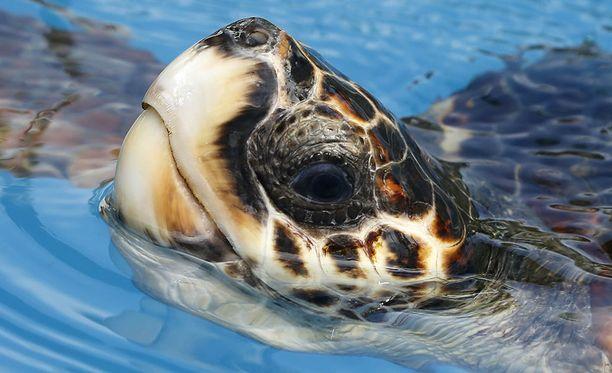 Merikilpikonnan dieetti oli turhan metallipitoinen. Kuvituskuva.