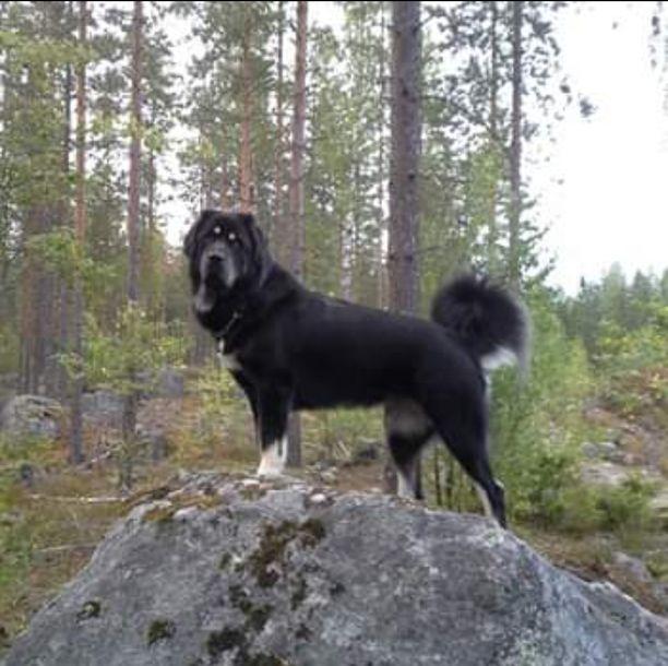 Pihaa voimakkaasti vartioiva koira tekee vain sen, mihin se on luotu, toteaa nimimerkki Tiibetinmastiffi vei sydämeni. Hän kertoo koiransa olevan omaa perhettään kohtaan maailman kiltein ja myös suojeleva.