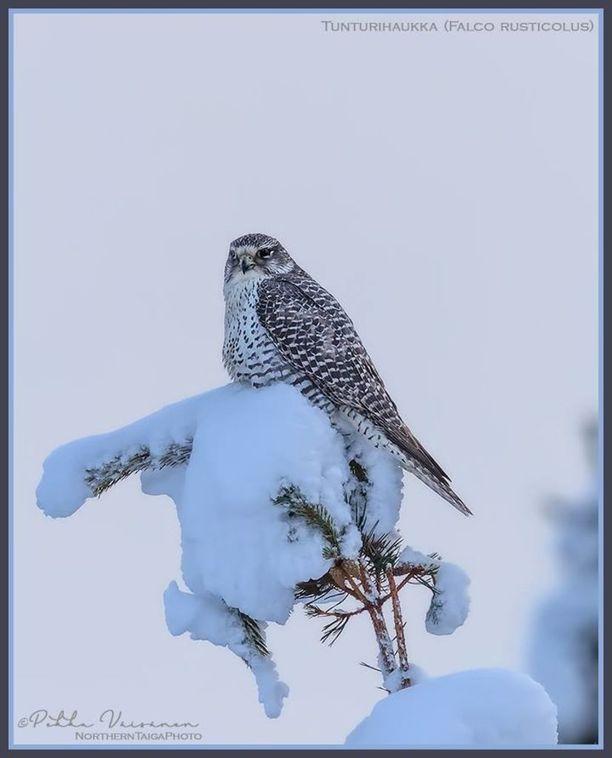 Tunturihaukka, (Falco rusticolus), on äärimmäisen uhanalainen.