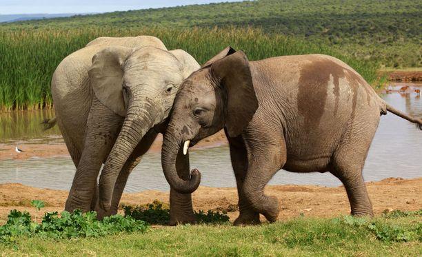 Elefanteilla on paljon syövältä suojelevia geenejä ja myös syöpää tuhoavia zombigeenejä.