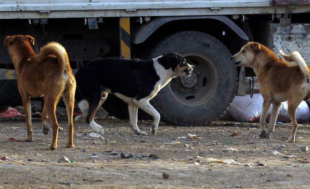Agadirissa lahdattiin kulkukoiria.