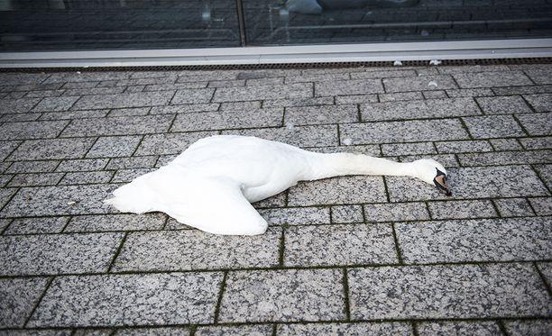 Yksi joutsen törmäsi Töölönlahden kupeessa toimistorakennuksen seinään ja kuoli.
