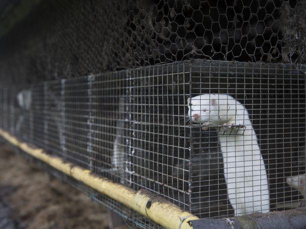 Suomessa turkistarhojen eläimissä ei ole tullut tietoon koronavirustartuntoja. Kuvituskuva.