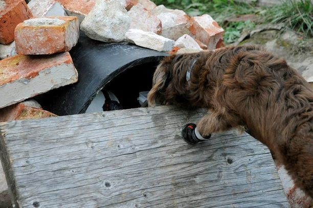 Labradoodle Urho löytää maalimiehen putkesta tiilikasan alta. Urho saa palkkioksi herkkuja.