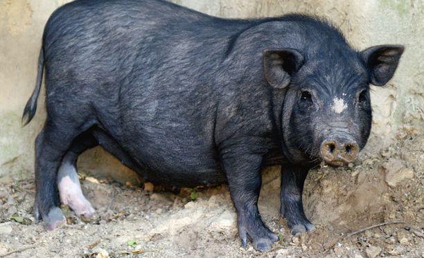 Kuvan sika ei liity tapaukseen mutta muistuttaa Clooneyn lemmikkisikaa.