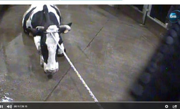 Patryk Szczepaniakin ja hänen työtoverinsa toimittamalla videolla näkyy, miten sairaita lehmiä liikutellaan vinssien ja köysien avulla teuraalle.