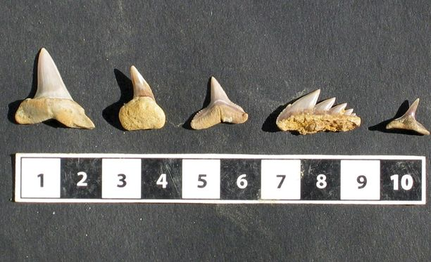 Nämä hain hampaat löytyivät Espanjan Huelvasta vuonna 2009.