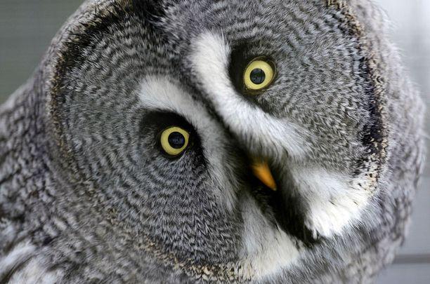 Onpa outoa! Münsterin eläintarhassa asustava lapinpöllö tuntui yllättyvän lumentulosta ja pakkasesta yhtä paljon kuin muutkin saksalaiset.