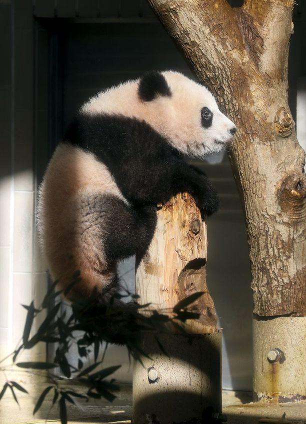 Xiang Xiang syntyi kesäkuussa ja on nyt puolivuotias. Yleisö pääsi näkemään sen tänään ensi kertaa.