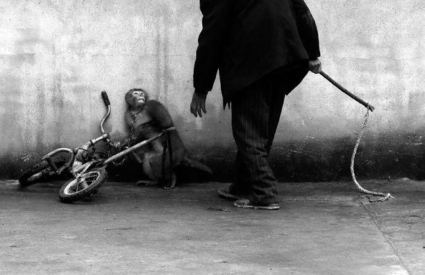 Luontokuvien sarjan ykköspalkinnon pokkasi kiinalainen Yongzhi Chu tällä kuvalla, joka esittää sirkusapinan kouluttamista.