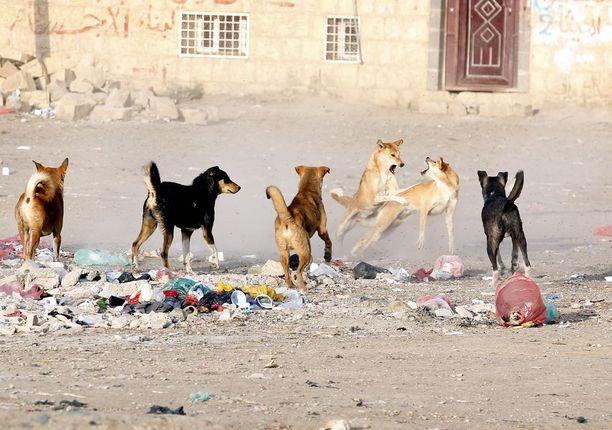 Kulkukoirat ovat ongelma myös Jemenin Sanaassa.