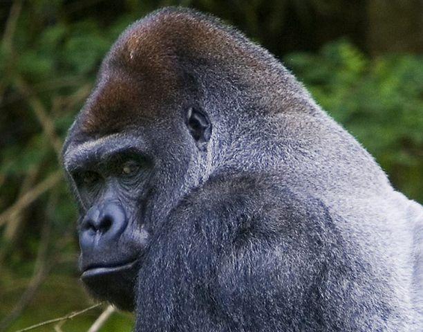 Myös gorilloista voi siirtyä hi-virusta ihmiseen.